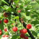 A photo of some wild cherries, or 'ciresa' in the native dialect