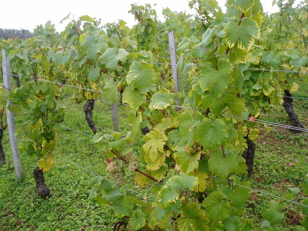 Grapes at Lafon