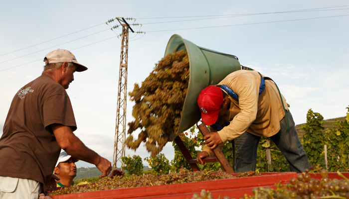 rhone-grape-pickers