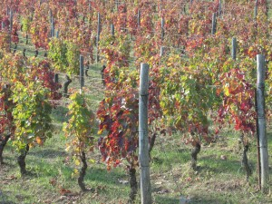 Southern Italy's answer to Nebbiolo: the Aglianico grape