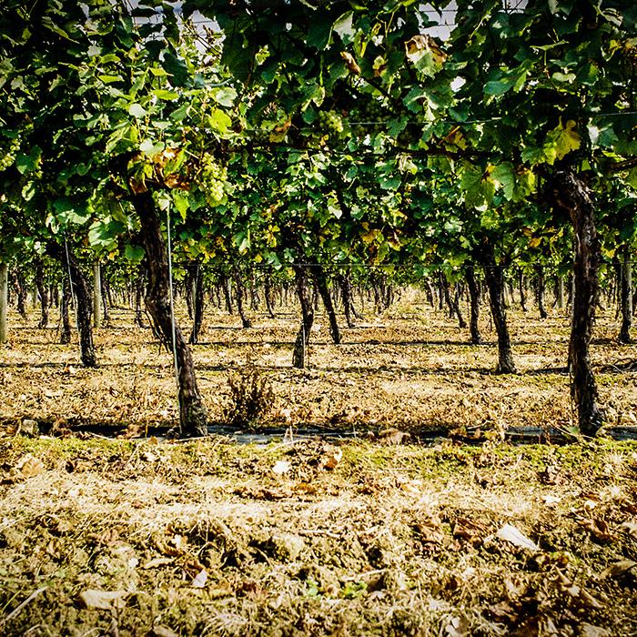 The vineyards at Ridgeview. Photograph: Simon Peel
