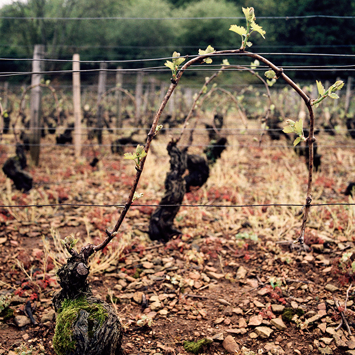 The buds breaking in spring as the vines' first tender leaves unfurl. Photograph: Jason Lowe