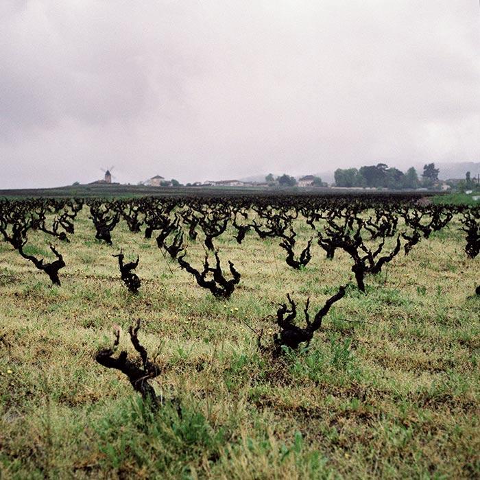 Gobelet vines in Moulin-à-Vent. Photograph: Jason Lowe