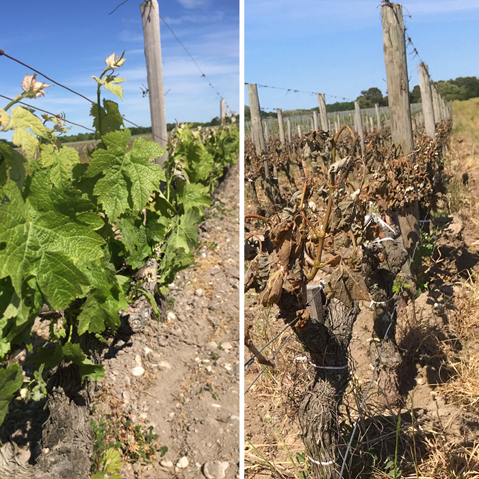 Before and after frost struck a row of vines in Bordeaux