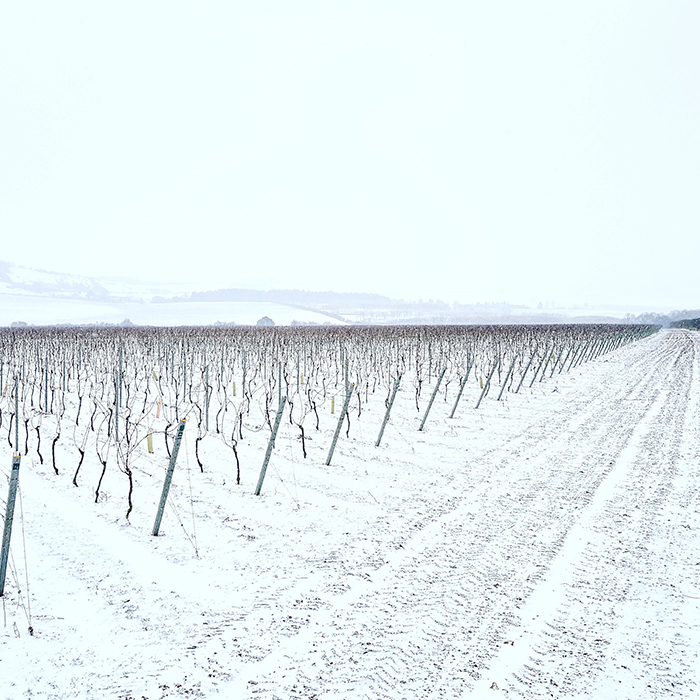 Hampshire snow on the Nyetimber vines