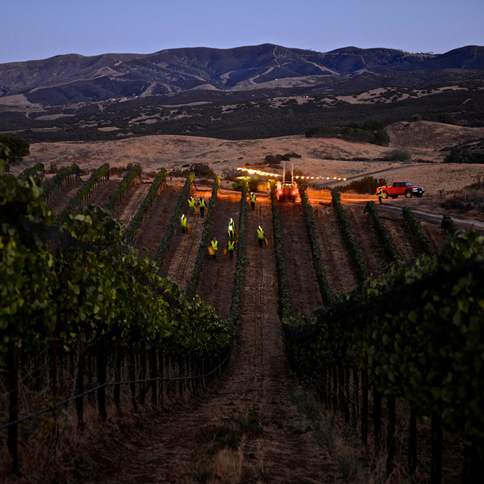 Pickers at dawn in Birichino's Antle vineyard