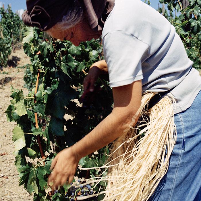 Harvest at Raventós i Blanc. Photograph: Jason Lowe