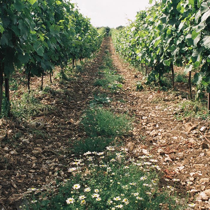 Between the vines at Coates & Seely. Photograph: Simon Peel