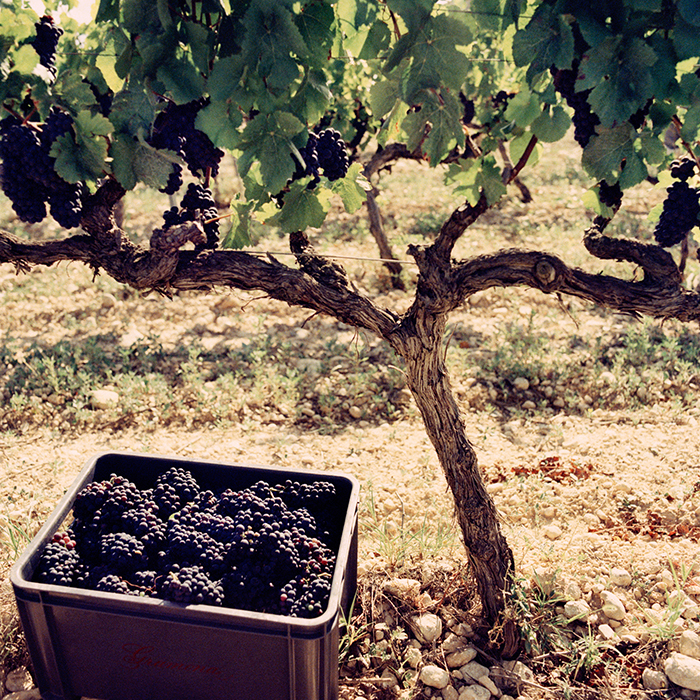 Harvest at Gramona, Catalonia. Photograph: Jason Lowe
