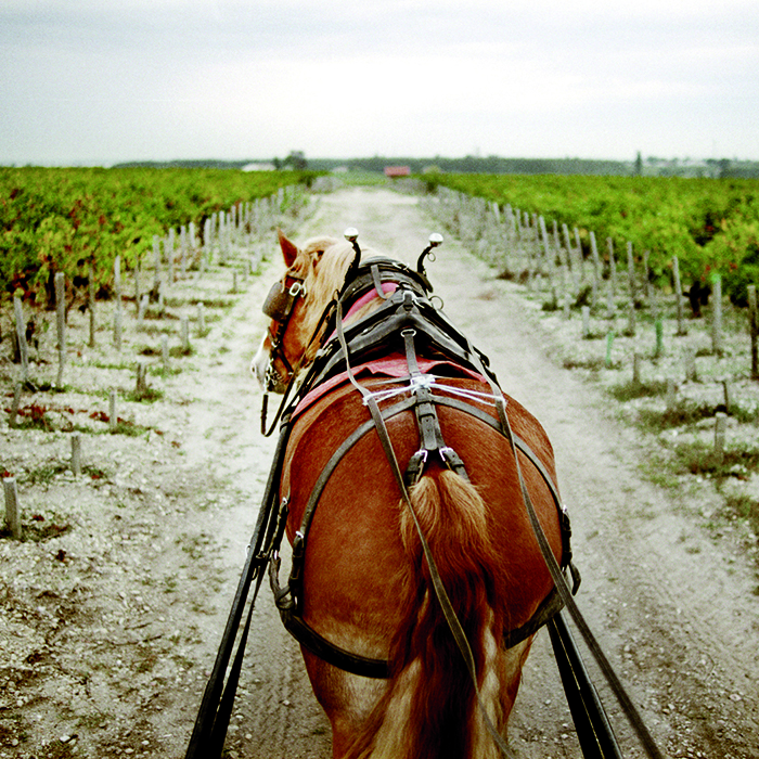 A horse pulls a cart laden with grapes during harvest at Château Pontet-Canet, Pauillac, Bordeaux