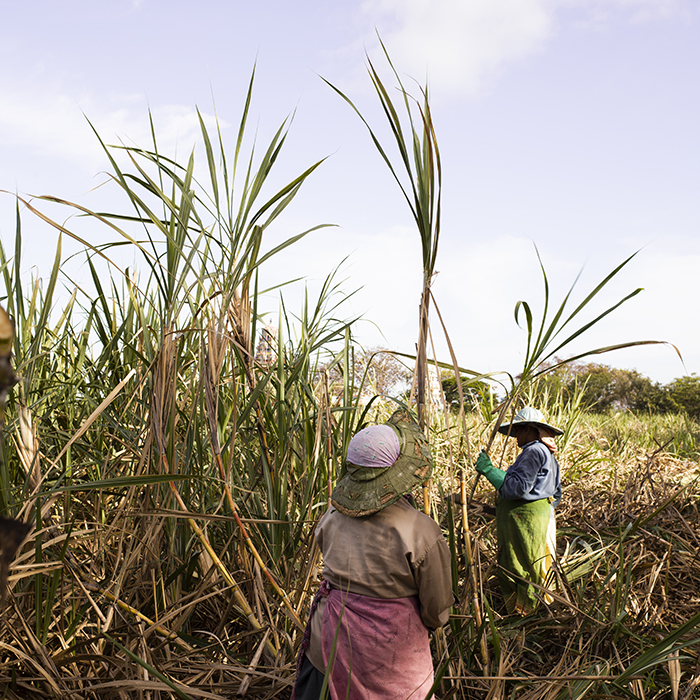 Harvesting sugar cane in Mauritius. Photograph by Jason Lowe
