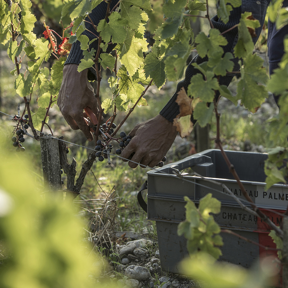 Grape harvest at Ch. Palmer, a leader in biodynamic and low intervention wine in Bordeaux.