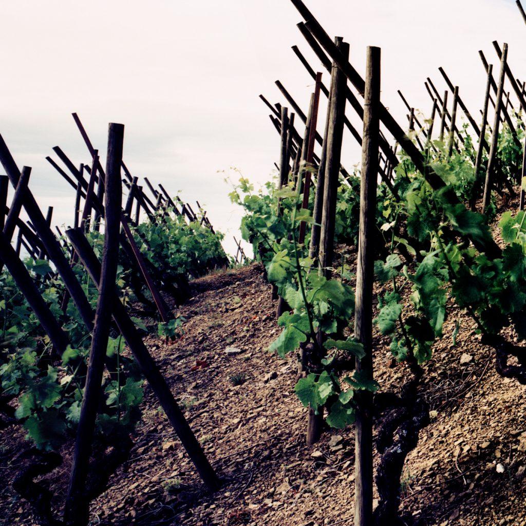 Views through the vines in a steeply sloping northern Rhone vineyard.
