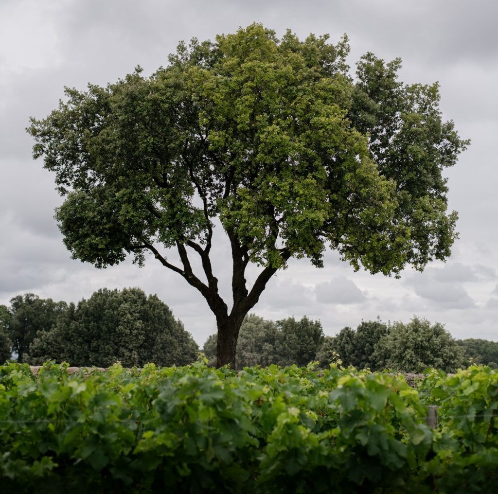 The view over the vineyard at Ch. Berliquet showing vines in full leaf and an old tree centre of image. Photograph by Brice Braastad