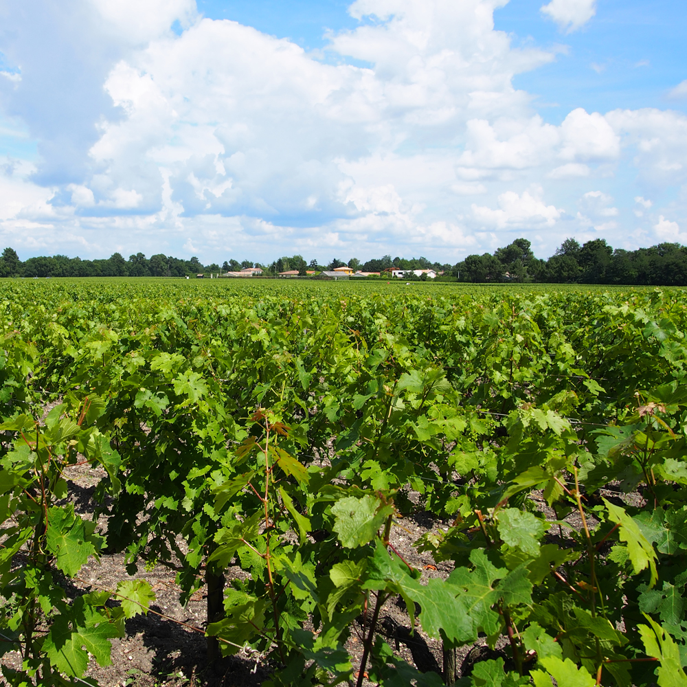 Domaine de Chevalier, the producer of one of the best dry white Bordeaux wines