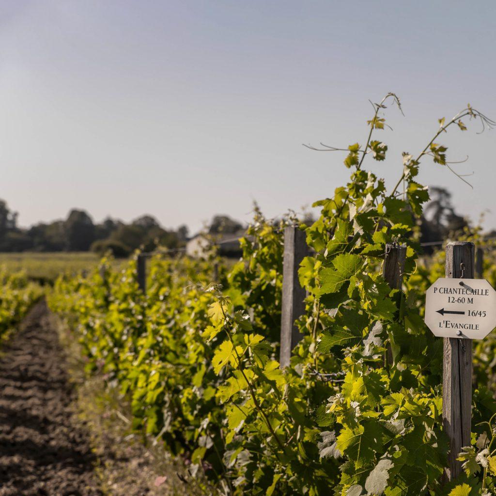 A photograph of the vineyard at Ch. L'Évangile in Bordeaux
