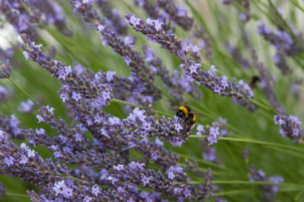 A large bee hunts for pollen amongst blooms of lavender at Ch-LEvangile