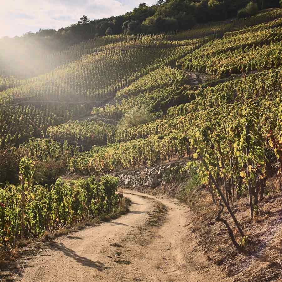 A photograph of a dirt track winding downhill through a vineyard in Burgundy