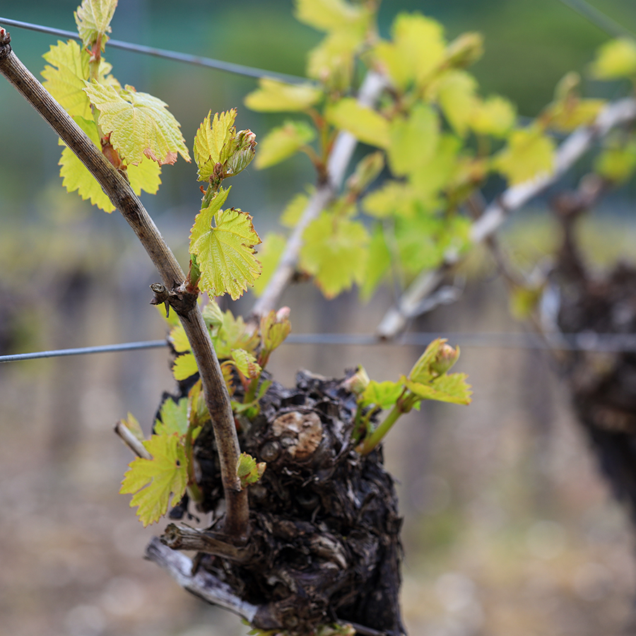 A close-up photo of a vine before bud burst at Hambledon Vineyard in Hampshire, England.