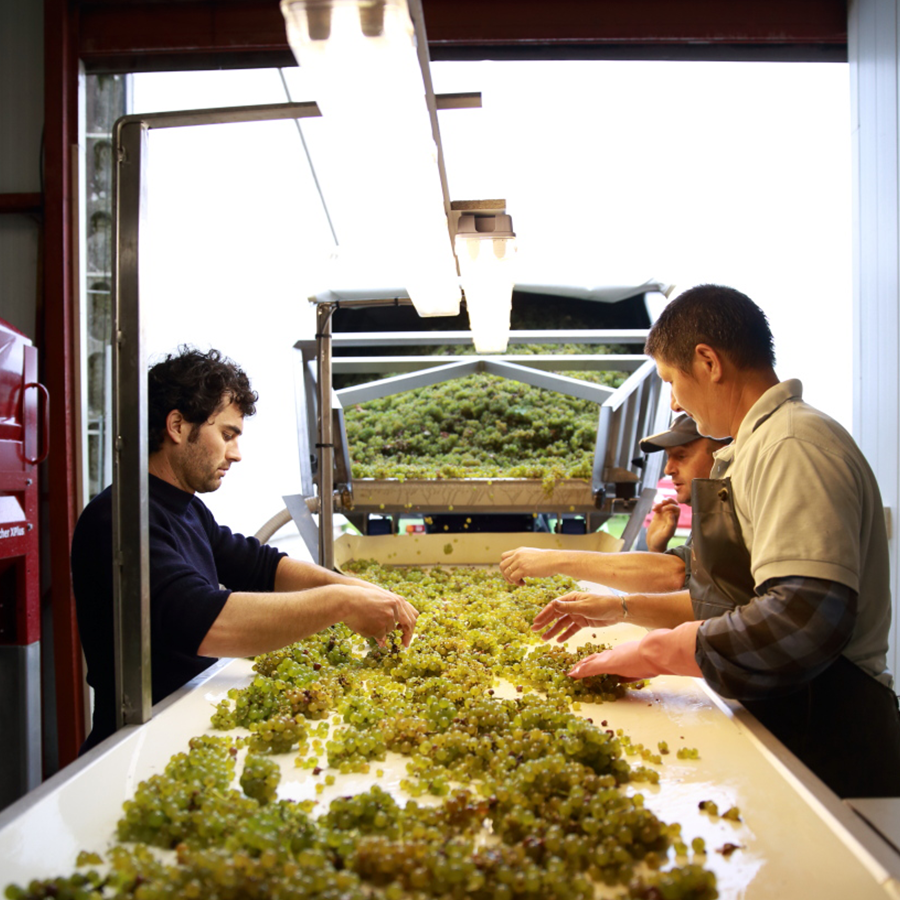 A photo of Stéphane Riffault sorting the grapes at his winery in Sancerre