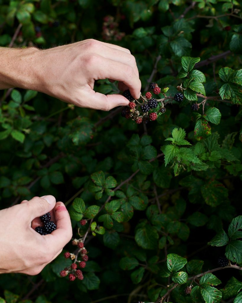 Julius's blackberry-stained hands are in shot as he gathers just-ripe berries